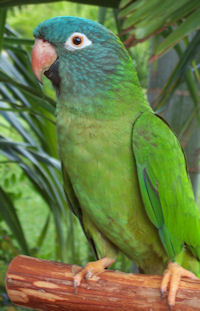 Blue Crown Conure
