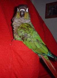 Green Cheek Conure