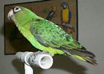 Greater Jardine Parrot