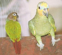 Orange Wing Amazon Green Cheek Conure