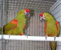 Picture of Red Fronted Macaws