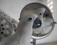 Umbrella Cockatoo